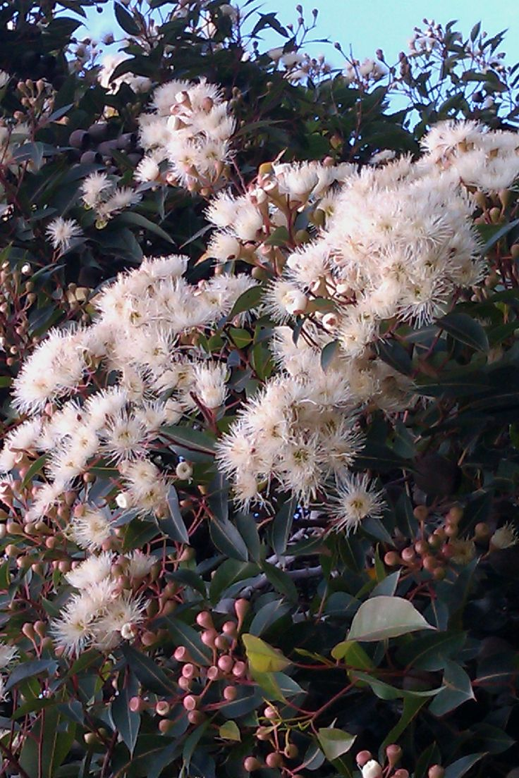 Corymbia ficifolia (syn. Eucalyptus ficifolia) 'Snowflake™' is a white flowering grafted form of the popular Flowering Gum, it has a height of 5-6 metres and a width of 3-4 metres. Highlights