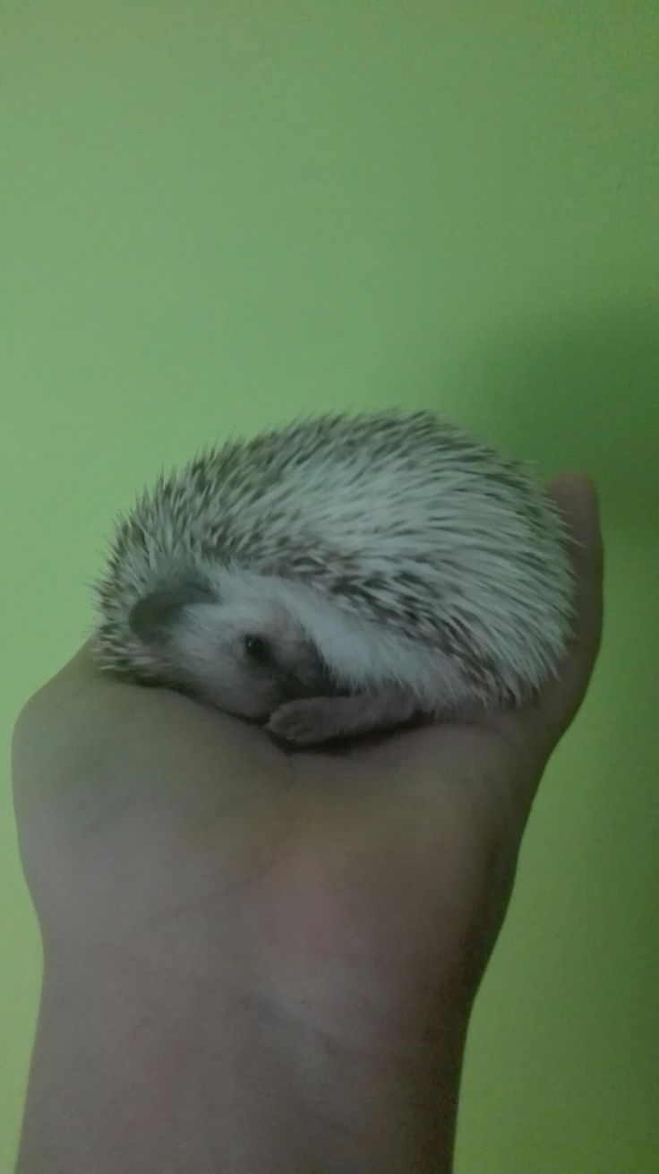 Hedgehog, Rosie, mini, sleep, my pet