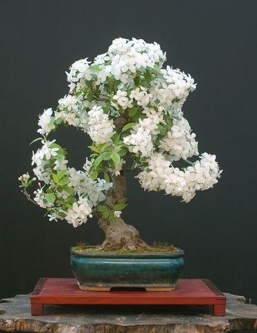 bonsai fruit trees | Your guide to bonsai fruit trees!
