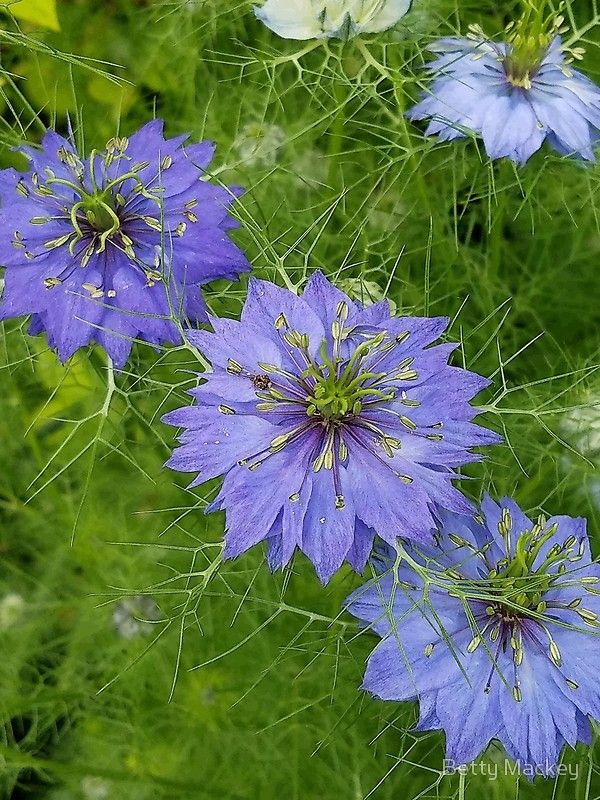This Flower Is Called Love In A Mist Because Of The Filmy Effect It Gives Its Botanical Name Is Nigella Damascena It Grows In Full Sun Mists Flowers Artwork