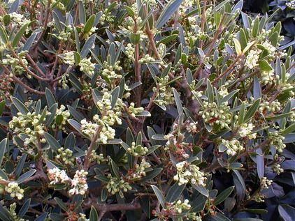 phillyrea angustifolia rosmarinifolia arbustes pinterest. Black Bedroom Furniture Sets. Home Design Ideas