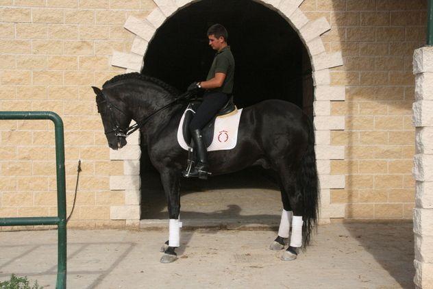 PRE Halcon LXIV (Brujo XVI, Yeguada Militar black stallon /  Incerteza, Yeguada Militar black mare). P.R.E. NEGRO SIN DIVISAS