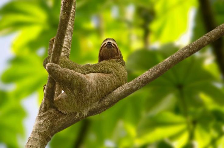 L'Oso Perezoso, è un bradipo che vive nel territorio del Costa Rica. Si possono avvistare ovunque, tra le foreste pluviali, sulla spiaggia e nei Parchi Nazionali di Santa Rosa, Guanacaste e Rincón de la Vieja. Sono animali adorati dalla popolazione costaricana, hanno anche un santuario dedicato a loro.