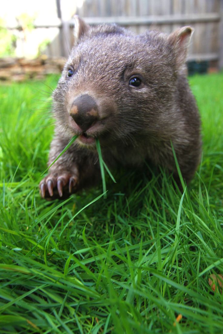 The 25+ best Wombat ideas on Pinterest - 122.4KB