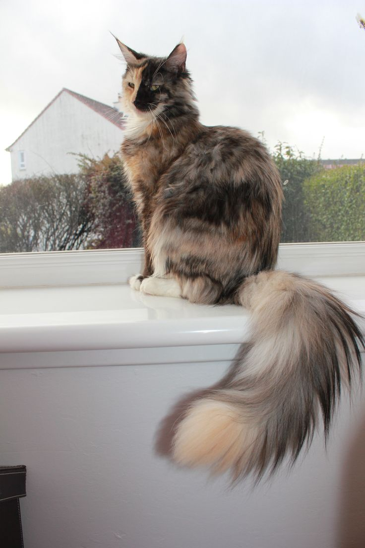 2432 best Maine Coon Cats images on Pinterest