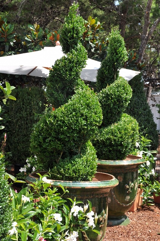 I absolutely love spiral topiary!  In fact, topiary is my favorite form for gardens and home