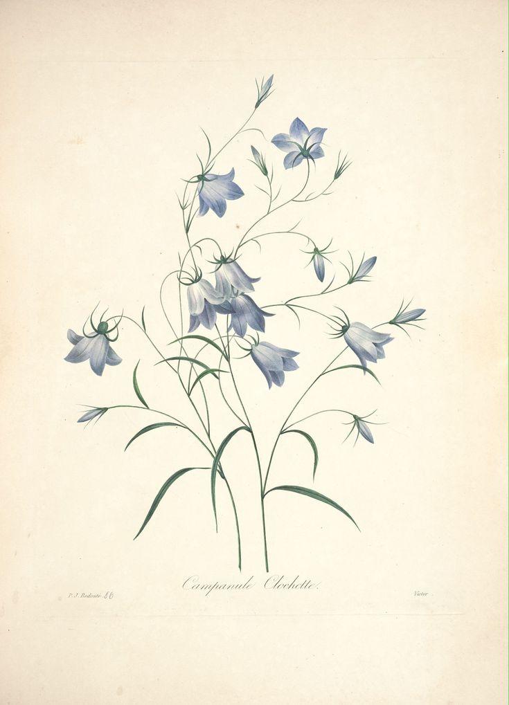 Gravures de fleurs par redoute gravures de fleurs par for Botanic fleurs artificielles