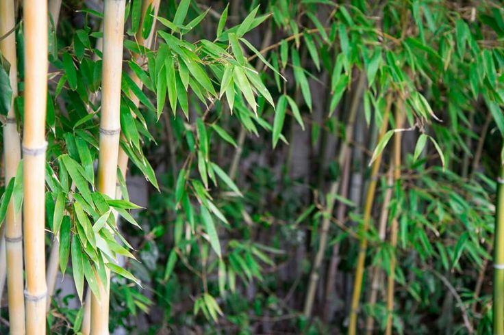 선유도 공원 대나무