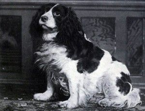 Norfolk Spaniel: Norfolk Spaniels, also known as Shropshire Spaniels, ceased to exist after 1903 when The Kennel Club lumped them in with the newly created English Springer Spaniel breed. The photo shows 'Dash II' a Norfolk Spaniel that took second place at the Westminster Kennel Club Dog Show in 1886.