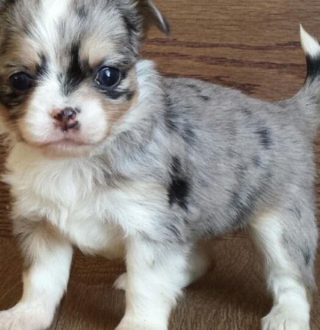 long haired applehead chihuahua puppies for sale Zoe