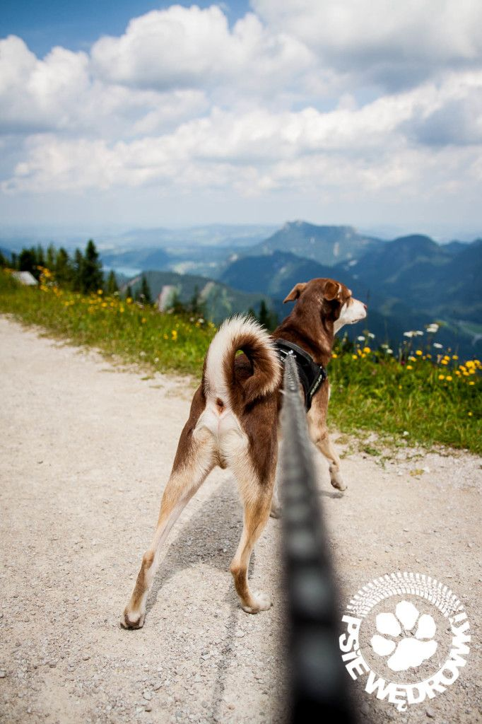 O psie na szczycie góry Zwölferhorn