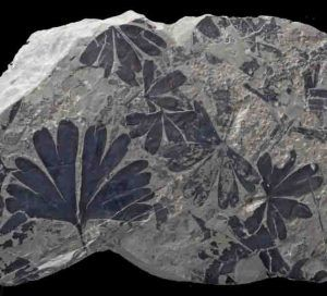 Through fossil leaves a step towards Jurassic Park #Geology #GeologyPage