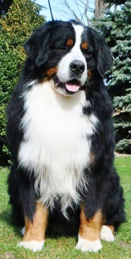 Bernersennenhund ;)