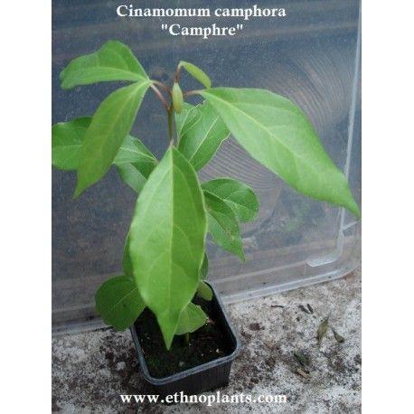 arbol de alcanfor o cinnamomum camphora en venta para crecer  #alcanfor #semilla #plantar #arbol