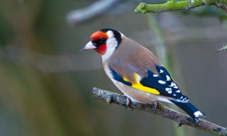 Goldfinch (carduelis carduelis) - my back garden - this is my spark bird