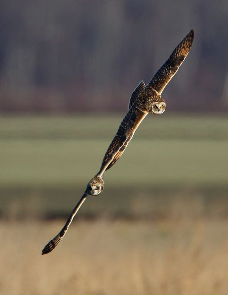 short eared owls frolicking