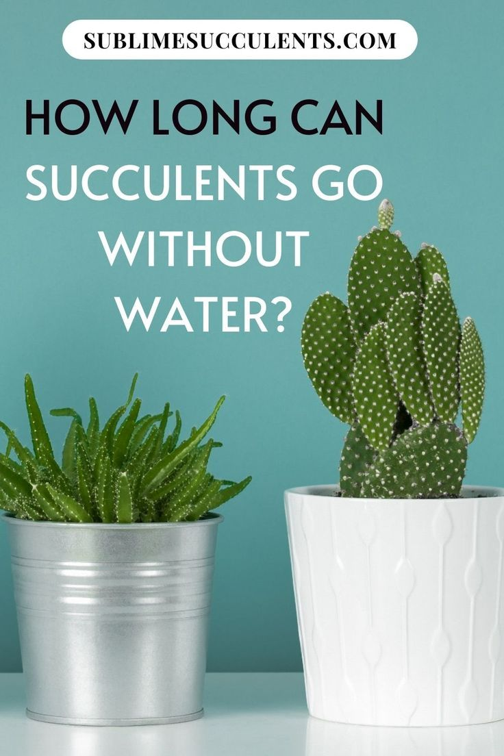 How Long Can Succulents Go Without Water In 2020 Succulents Succulent Care Low Maintenance Plants