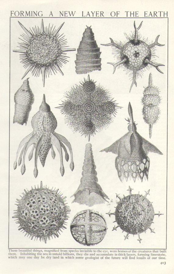 1920s Microscopic Sea Life illustration geology, fossils ...