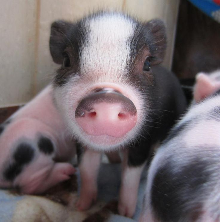 Micro piglets...I need this pig...like yesterday. Too cute