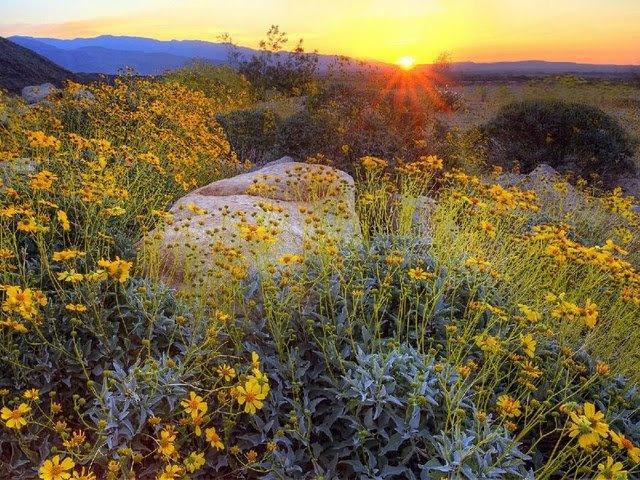 field of flowersBorrego Spring, State Parks, States Parks, Anza Borrego, Parks California, Spring Sunrises, Borrego States, Sunrise, 2014 Buckets