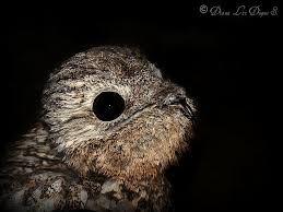 photos of potoo bird -  ~  Great Potoo / Nyctibius grandis. Nictibio grand