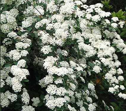 I Planted A Spirea Bush Last Summer Called Bridal Veil Love The Foilage Too