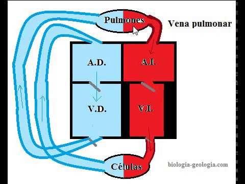 Estructura del corazón y circulación sanguínea - YouTube