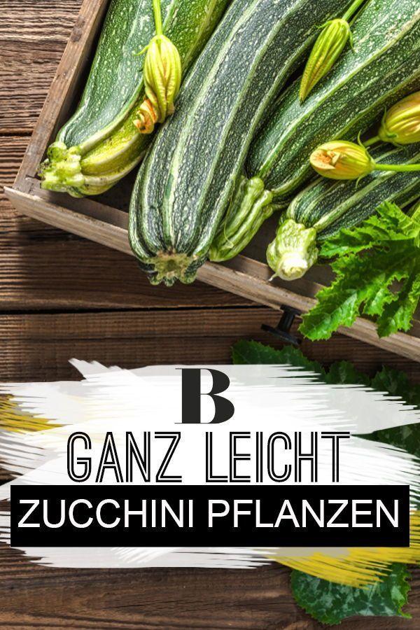 Ganz Leicht Zucchini Pflanzen Im Eigenen Garten In 2020 Zucchini Pflanzen Pflanzen Kohlrabi Pflanzen