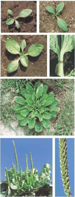 Plantain majeur (Plantago major) Famille: Plataginacée
