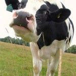 The Dangers of Drinking Cow's Milk