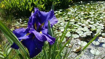 #Iris by the #pond
