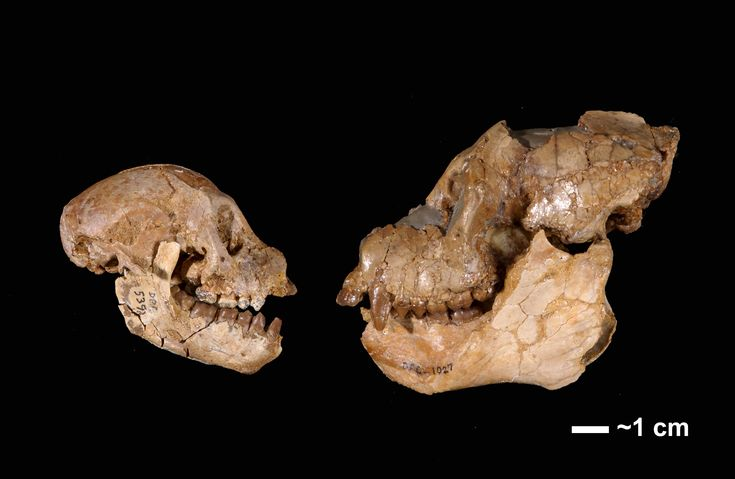From the Simons PNAS paper. Comparison of female (Left) and male (Right) crania of Aegyptopithecus zeuxis, with unassociated mandibles. Female cranium is CGM 85785; mal...