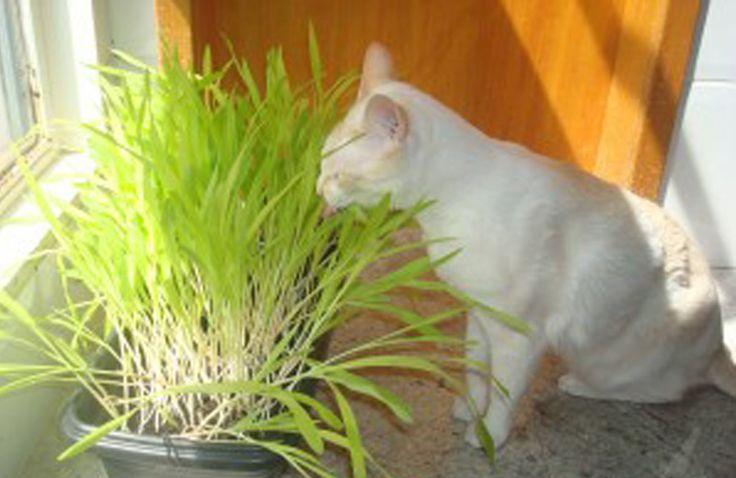 Grama de milho para Gatos