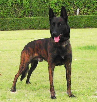 Blue Dutch Shepherd | ... K9 Working Dogs - Malinois, Dutch Shepherds, Czechoslovakian Wolfdogs