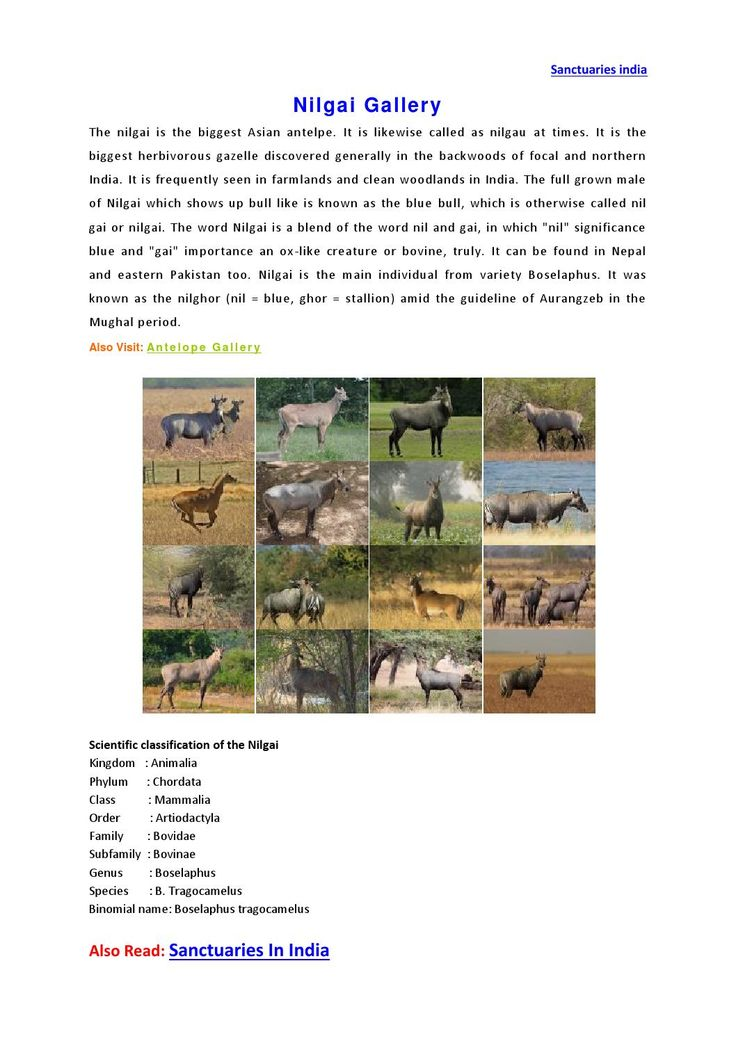 Sanctuaries in india nilgai gallery  Nilgai Gallery, Nilgai pics, Nilgai photos, Nilgai pictures, Nilgai photography, Nilgai images, Nilgai photo gallery, Nilgai @ sanctuariesindia.com