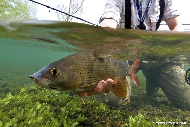 17 best images about grayling on pinterest utah travel for Tight lines fly fishing