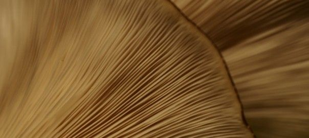 A close up of the pearl oyster mushrooms, grown with The Expresso Mushroom Company's Kitchen Garden, pearl oyster mushroom kit.