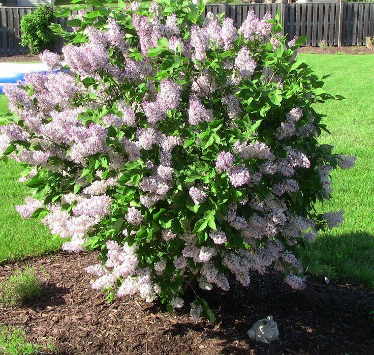 Best 25 dwarf lilac tree ideas on pinterest dwarf lilac for Best dwarf trees for landscaping