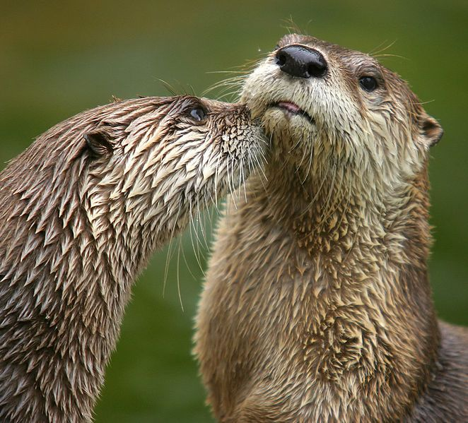 Rivier otters
