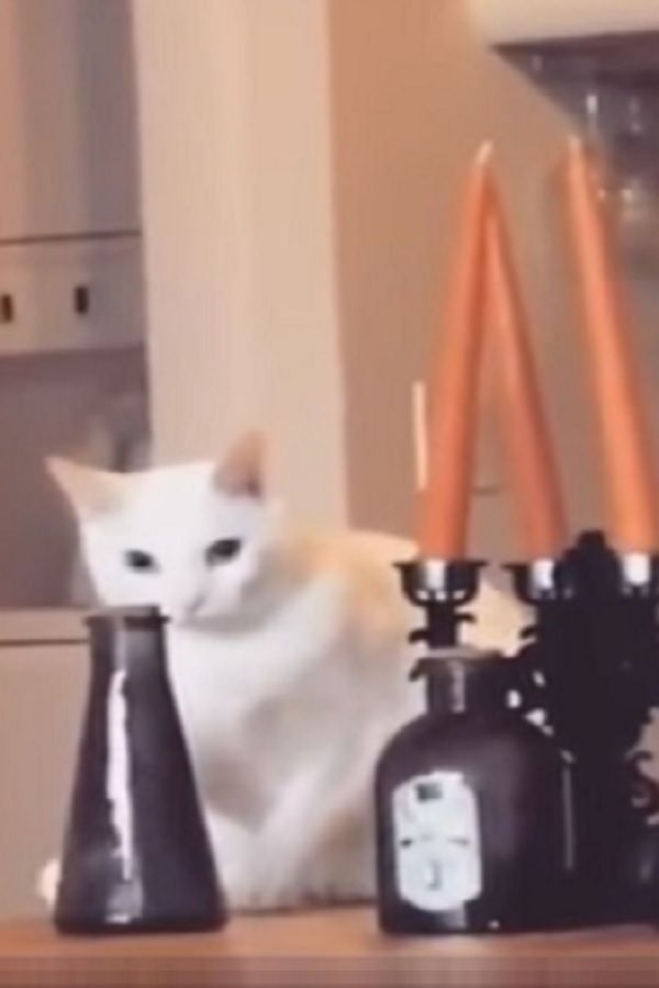 Naughty Cat Is About To Knock The Vase Over Then He Notices