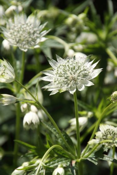 Astrantia major 'Snowstar' - Zeeuws knoopje