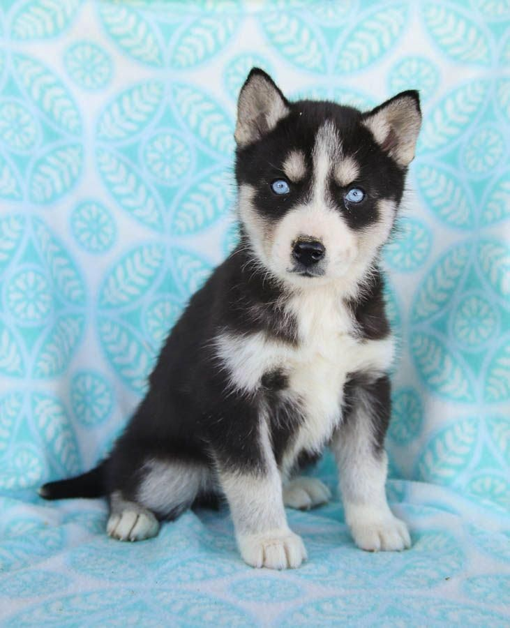 Get Terrific Suggestions On Siberian Huskies They Are Actually