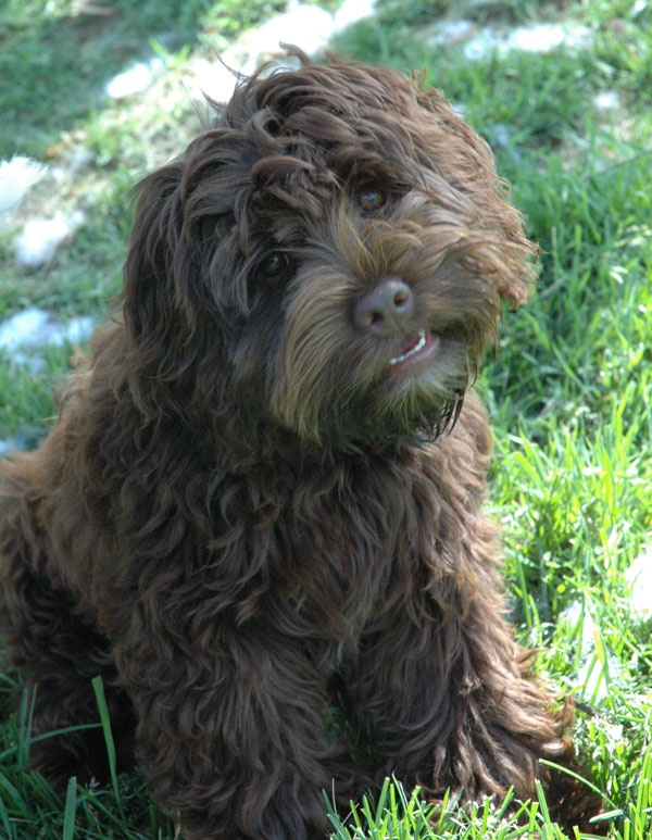 Chocolate Brown Labradoodle. <3 Look at that adorable face. One day I'll have one! They're like big brown teddy bears!