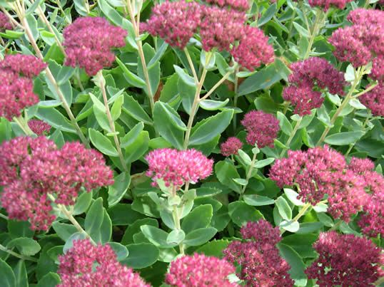 Seedum spectible. Ice plant. Perenniel. Plant in sun in most soils. Is drought tolerant.