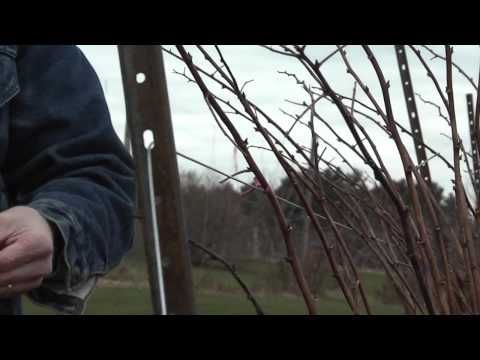 Pruning Raspberry Canes How-to-video from David Handley of the University of Maine Cooperative Extension