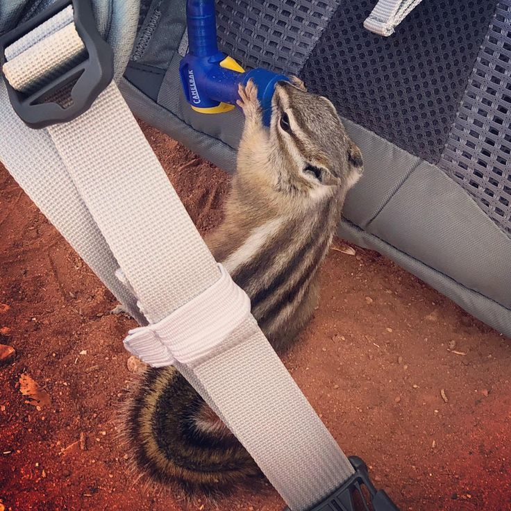 Chipmunk drinking from my Camelbak in Zion National Park! #travel #photography #nature #photo #vacation #photooftheday #adventure #landscape