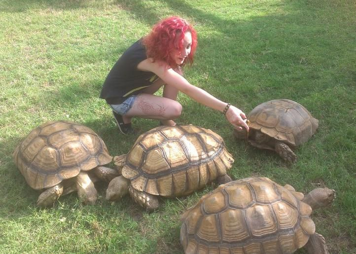 sulcata tortoise | Anyone like Sulcata Tortoises? - Imgur
