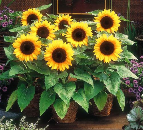 DWARF-SUNFLOWER-SUNSPOT-25-seeds-Helianthus-Annuus-no1381