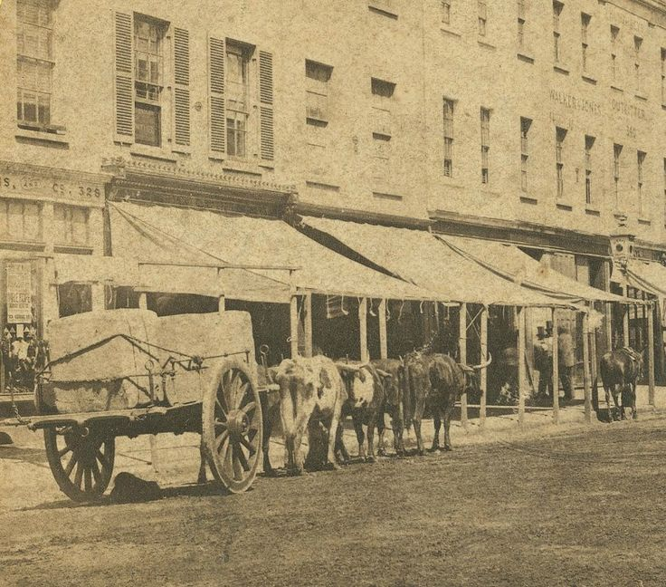 Bullock team, George Street, Sydney 1853. Powerhouse Museum. (My ancestors cleared George Street of all the trees and probably used a Bullock team just like this- J❤️M)