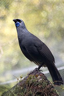 "Kōkako  is an endangered forest bird which is endemic to New Zealand. It is slate-grey with wattles & a black mask. It is one of three species of New Zealand Wattlebird, the other two being the near threatened Tieke (saddleback) & the extinct Huia. Also known as ""NZ Crow "" BUT it is not a crow at all."